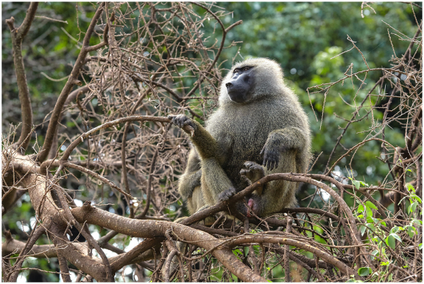 Olive baboon, Tanzania