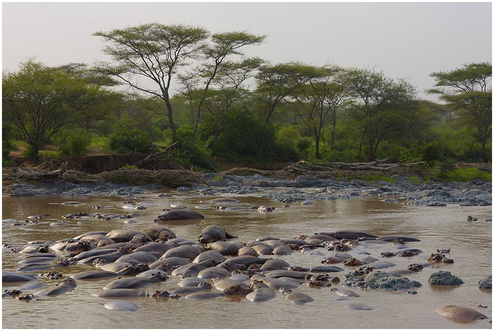 Hippo pool in Serengeti, Tanzania