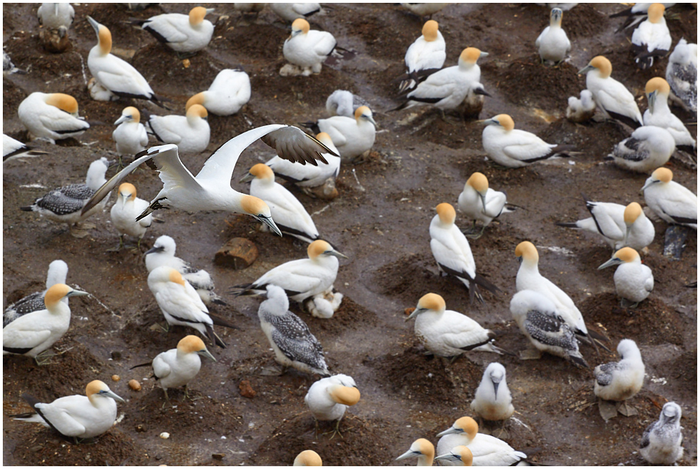 Muriwai gannet colony, New Zealand