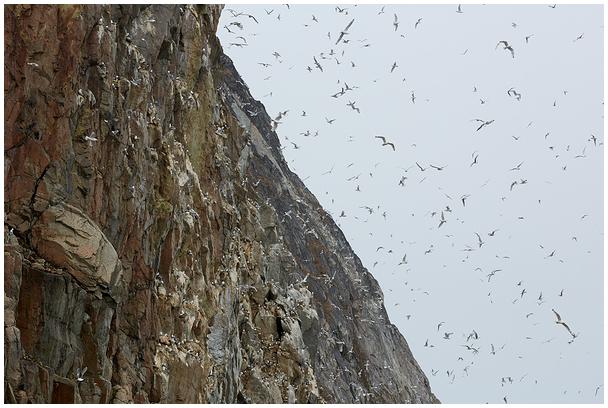 Kaljukajakate koloonia Gröönimaal