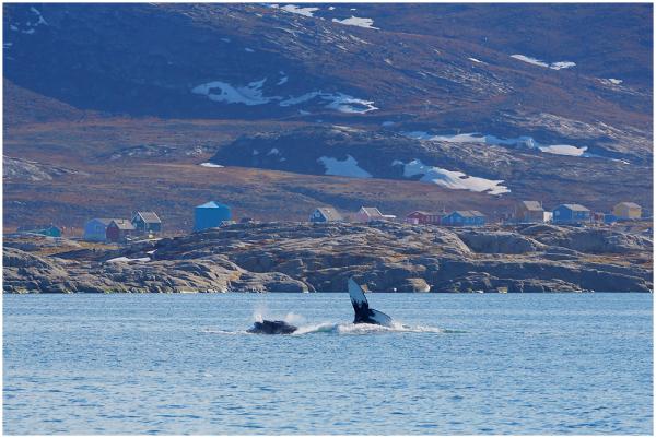 Küürvaalad / Humpback whales