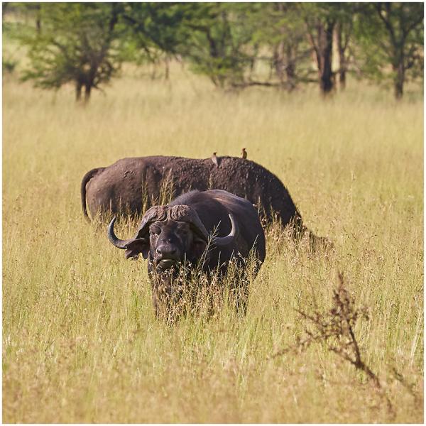 Aafrika pühvel / African buffalo