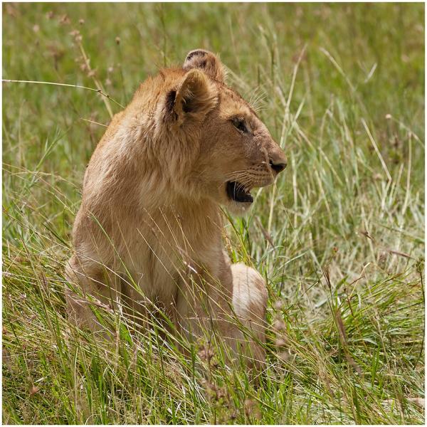 Noor lõvi