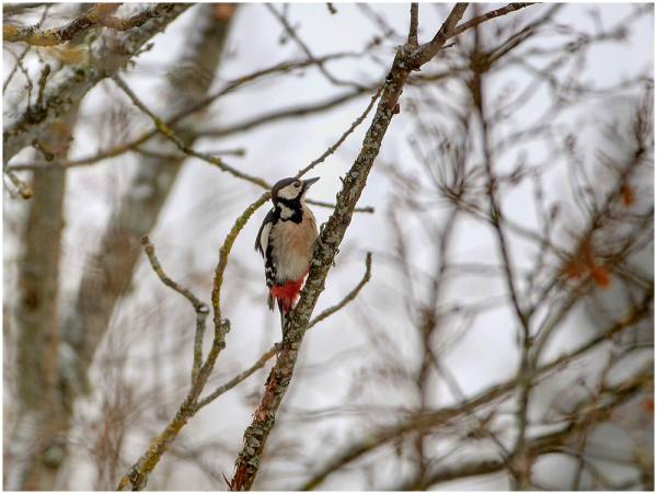 Suur kirjurähn / Great spotted woodpecker