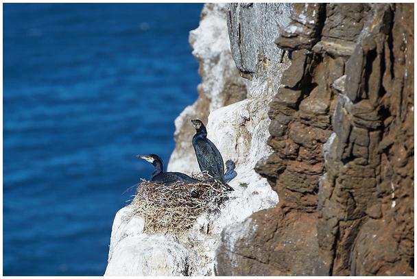 Cormorant cliffs at Vaigat Strait