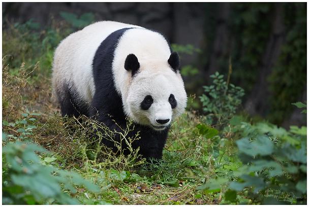 Panda Pekingi loomaaias
