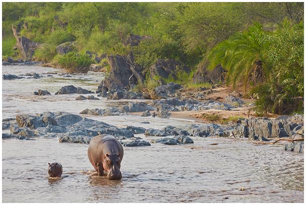 Hippos in Serengeti, Tanzania