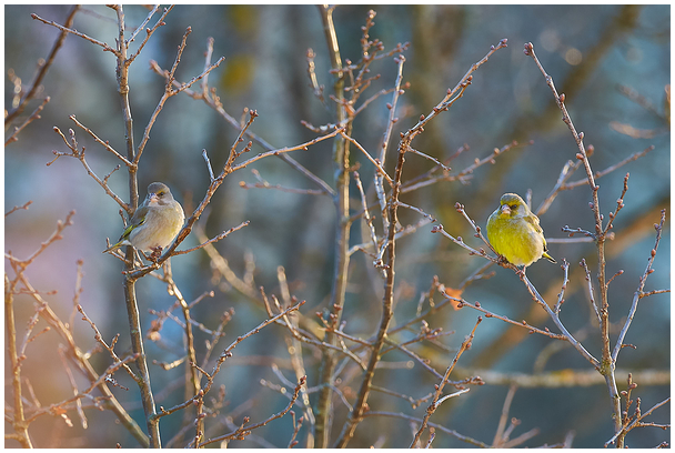 Rohevint / Greenfinch