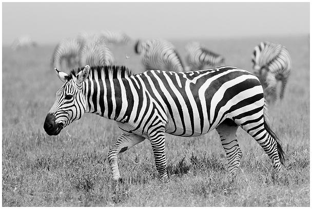 Sebrad Serengeti Rahvuspargis