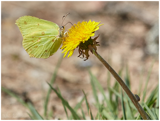 Lapsuliblikas / Common brimstone