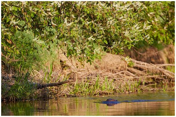 Kobras / European beaver