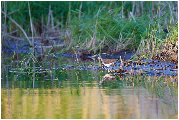 Vihitaja / Common sandpiper