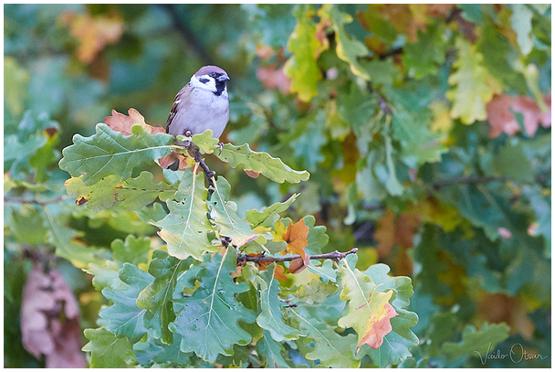 Põldvarblane / Tree sparrow