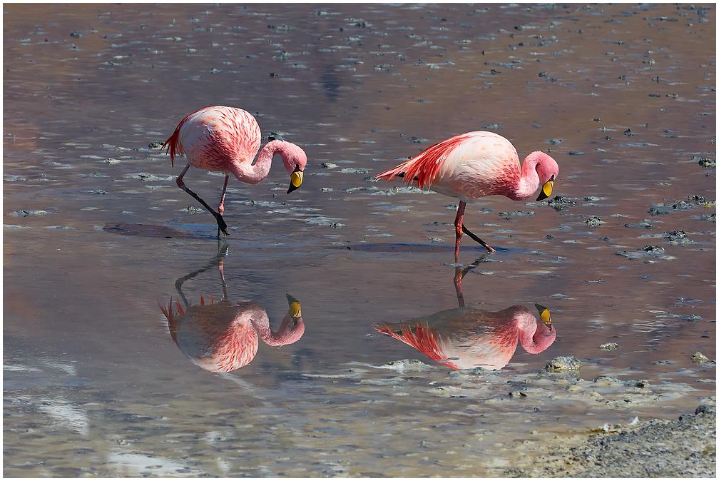 Flamingod Boliivias