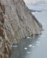 Kittiwake colony in Greenland
