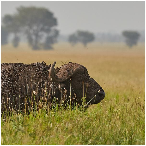Aafrika pühvel