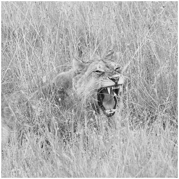 Möire / Roar