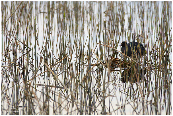 Lauk / Common Coot