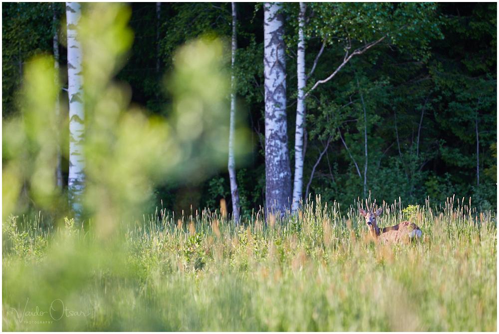 Metsaserval