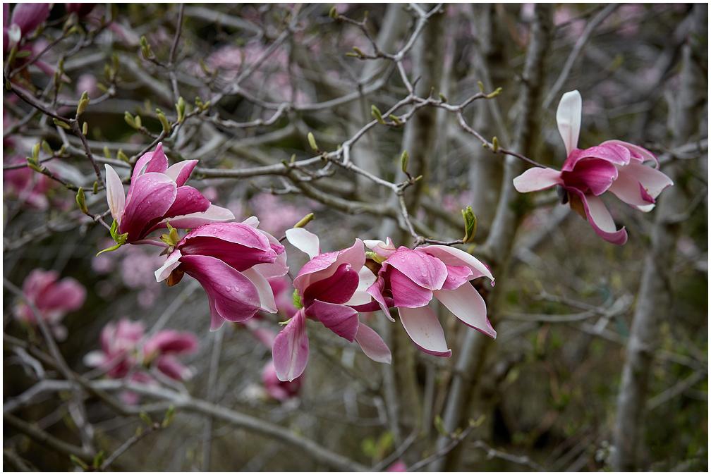 Magnoolia