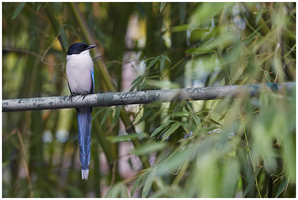 Siniharakas / Azure winged Magpie