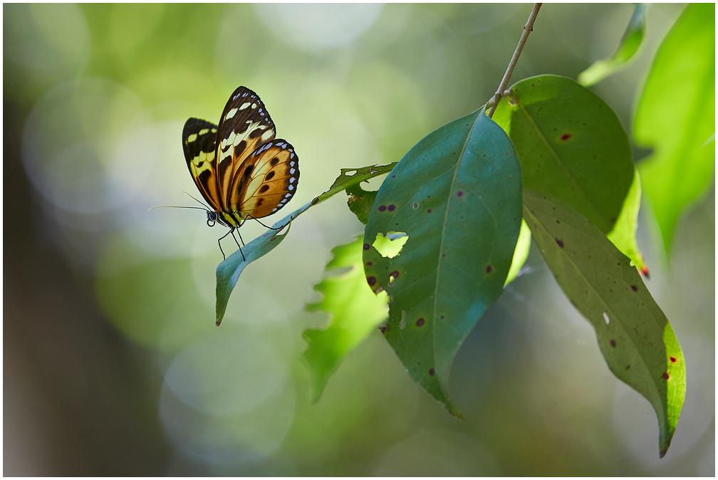 Tithorea harmonia / Harmonia Tiger-wing