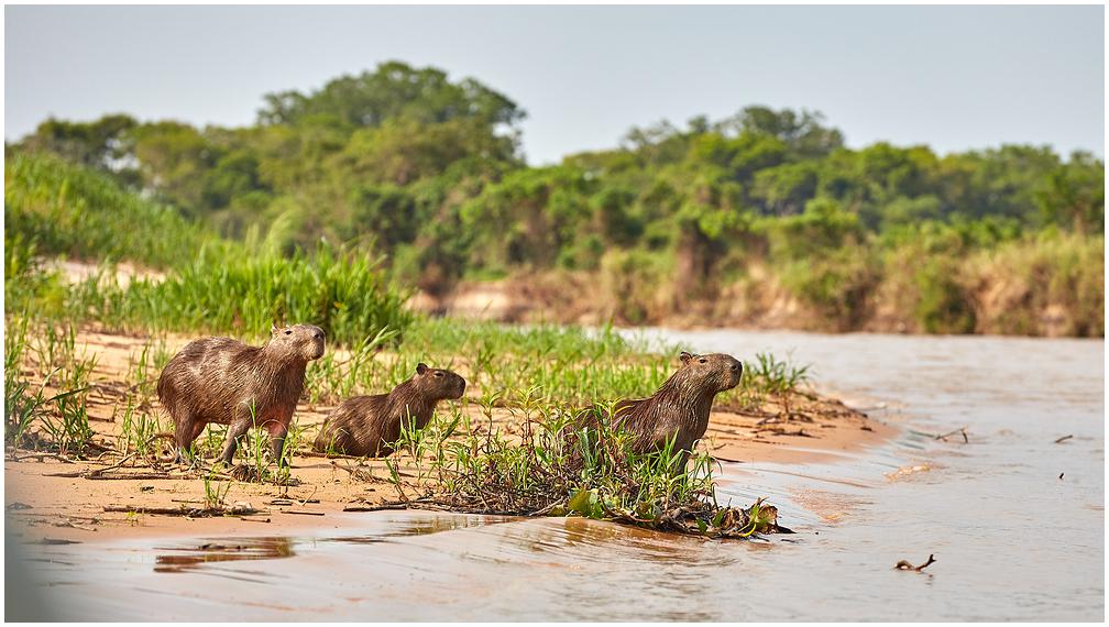 Kapibaara Brasiilias