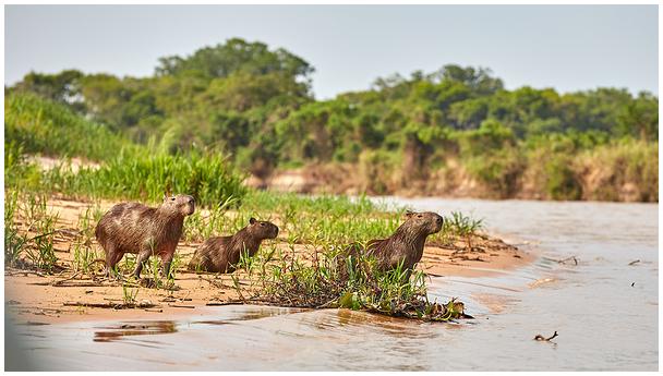 Kapibaara / Capybara