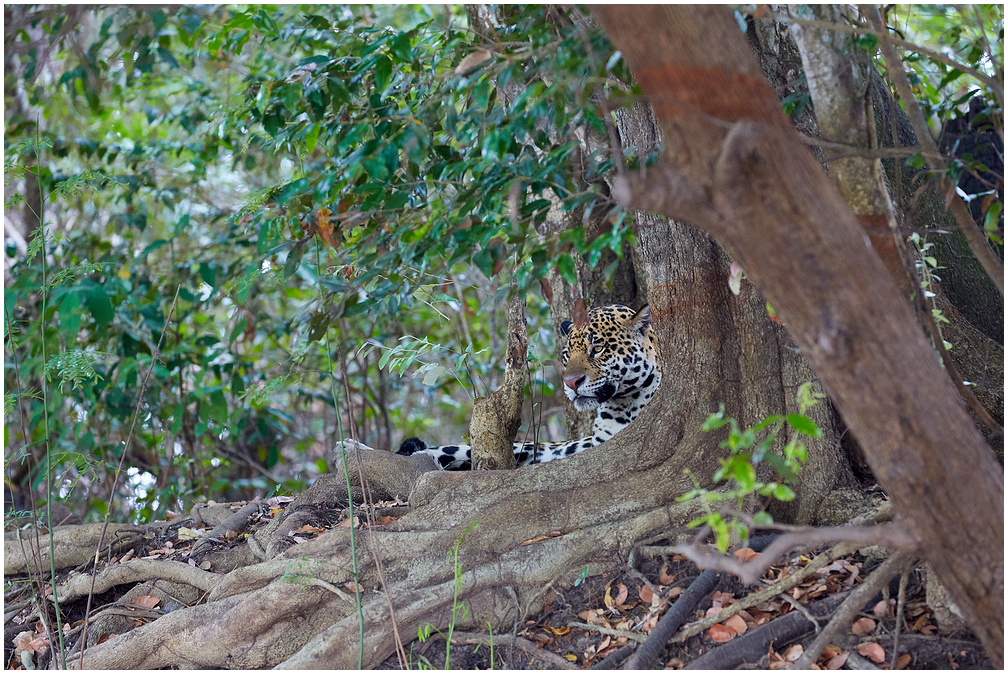 Jaaguar, Pantanal, Brasiilia