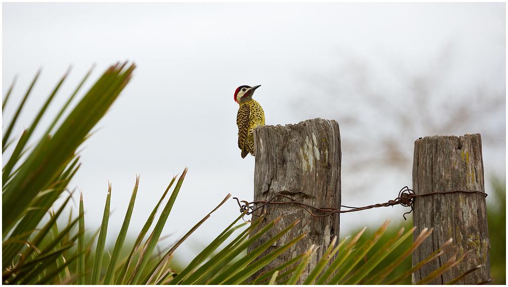 Viher-täpikrähn