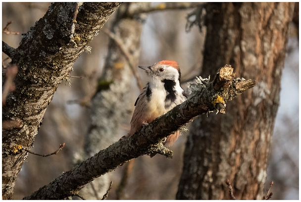 Tamme kirjurähn / Middle spotted woodpecker