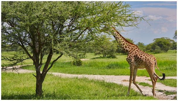 Tansaania safari