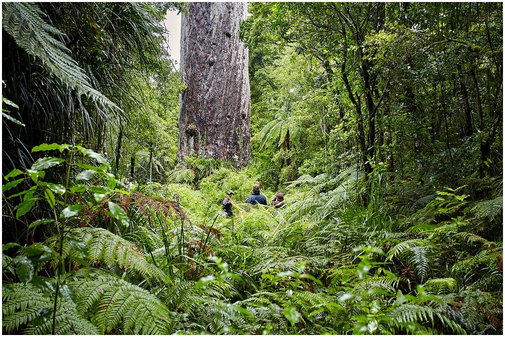 Tāne Mahuta, New Zealand