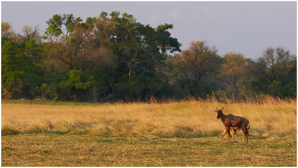 Lõuna-aafrika lüüraantiloop
