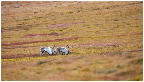 Teravmägede põhjapõder / Svalbard reindeer