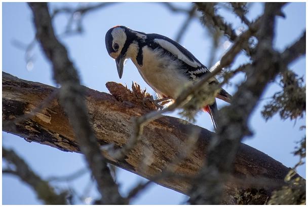 Suur kirjurähn / Great spotted woodpecker
