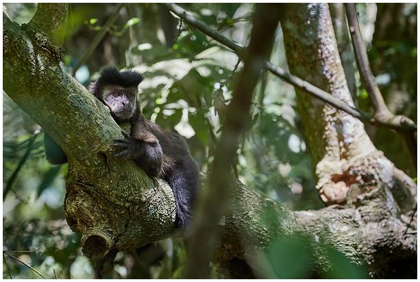 Must kaputsiinahv / Black capuchin