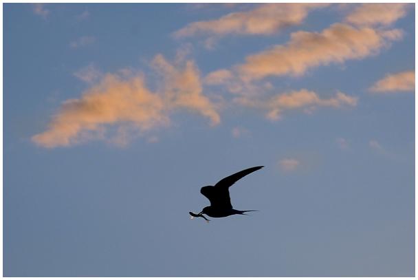 Jõgitiir saagiga / Common tern with a prey