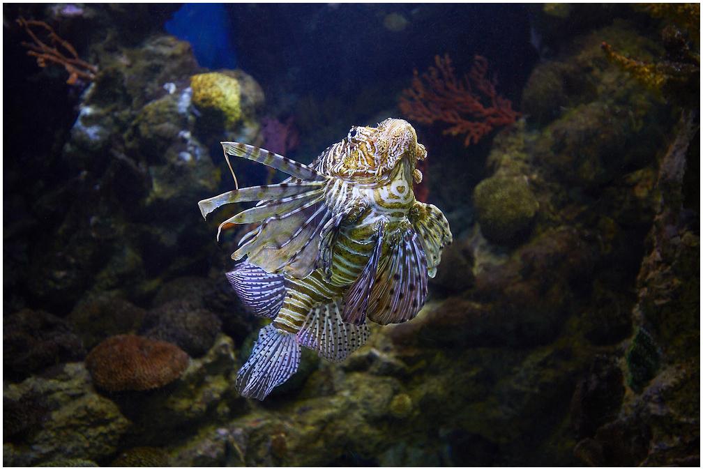 Vöödiline tiibkala