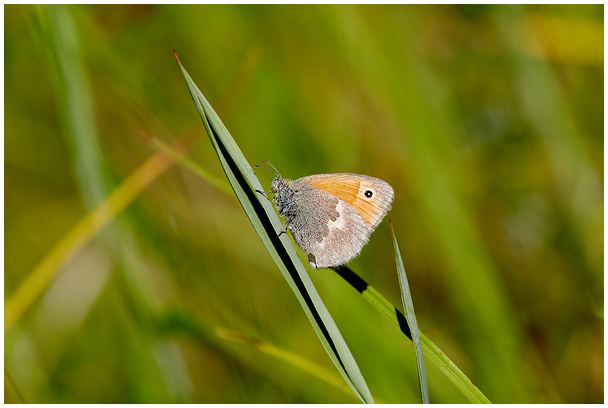 Kollakas aasasilmik / Small heath butterfly