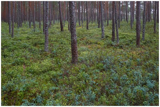 Kõdusoomets / Drained peatland forest