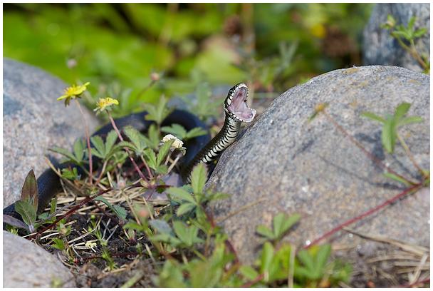 Nastik / Grass snake