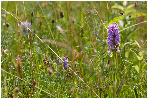 Kahkjaspunane sõrmkäpp / Early marsh orchid