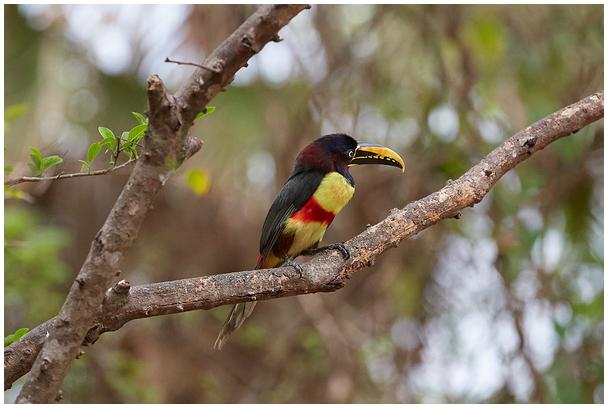 Chestnut-eared aracari, Pantanal, Brazil