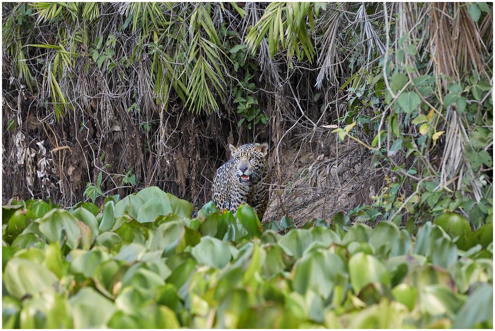 Jaguar in Pantanal, Brazil