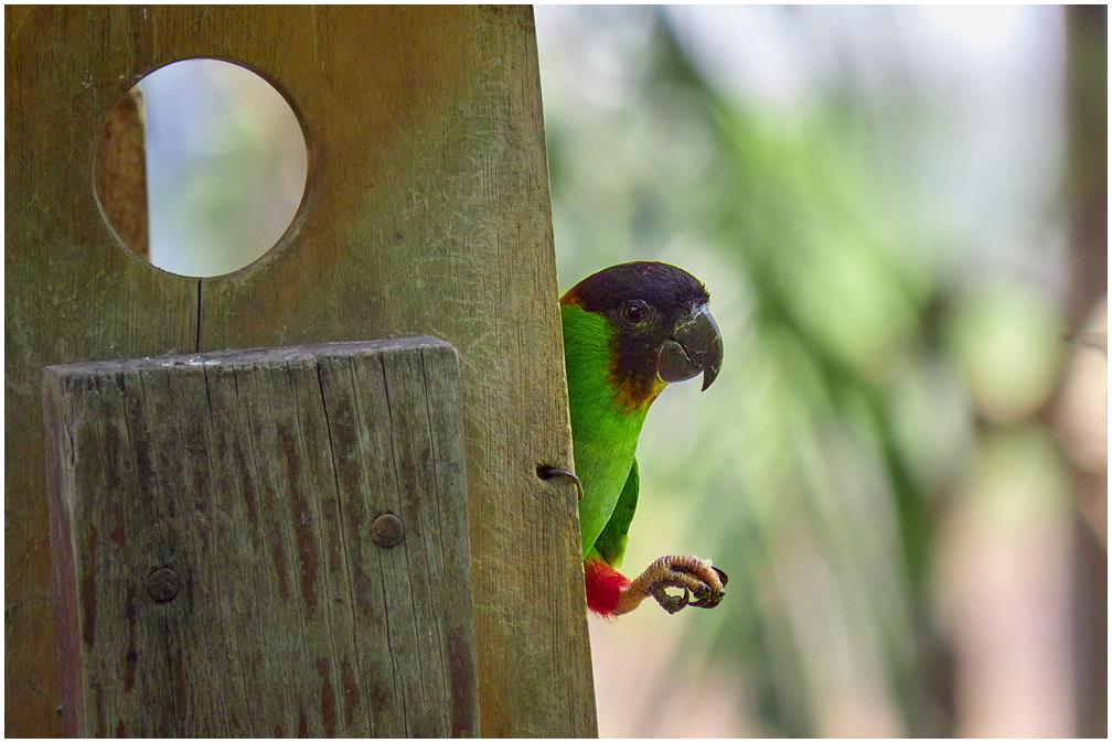 Nanday Parakeet in Pantanal, Brazil