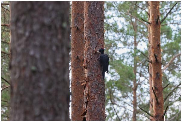 Musträhn Paidra metsas