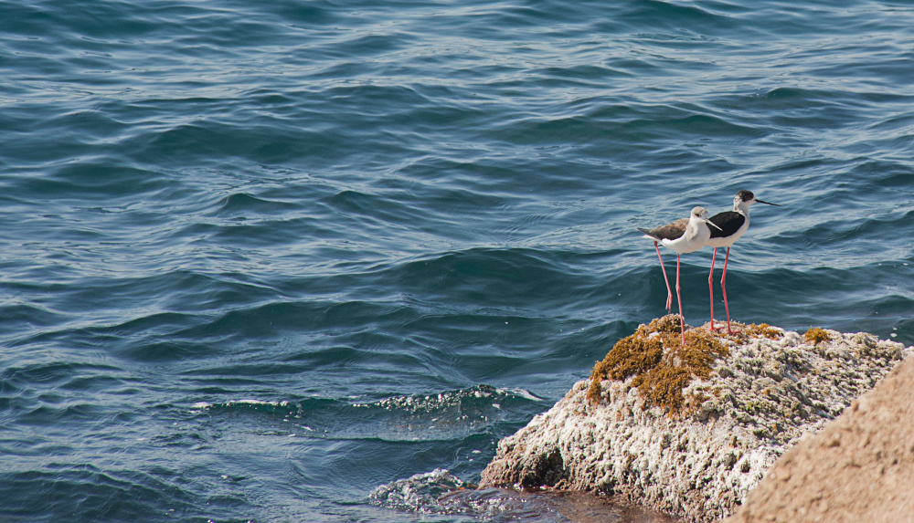 A couple of black-winged stilt in Palamós
