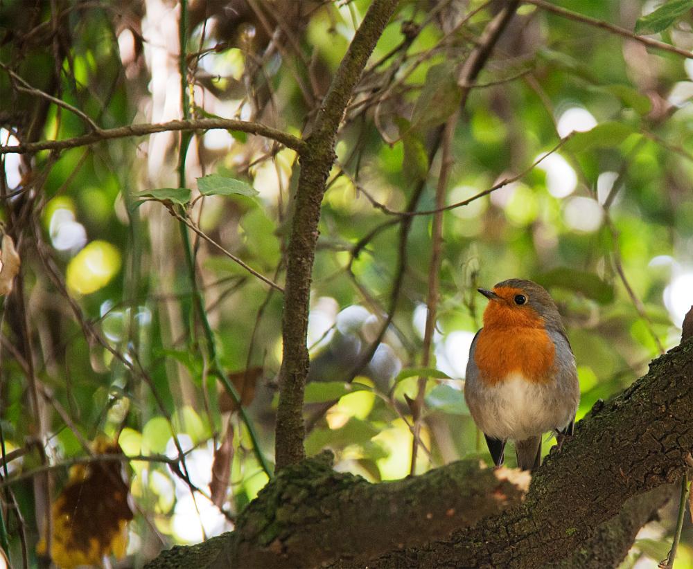 Pit-roig cantaire de Les Estunes