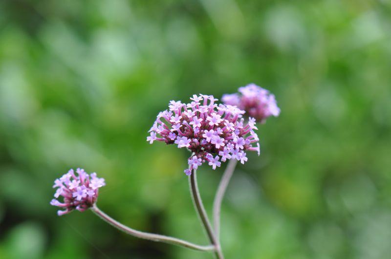 Bendigo Flower #2